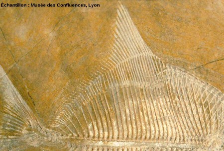 """Détail du """"dos"""" de Proscinetes bernardi, poisson pycnodonte du Kimmeridgien, carrière de Cerin (Ain)"""