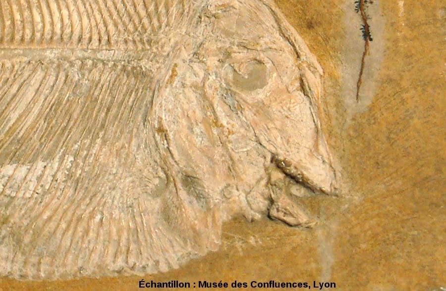 Détail de la tête de Proscinetes bernardi, poisson pycnodonte du Kimmeridgien, carrière de Cerin (Ain)