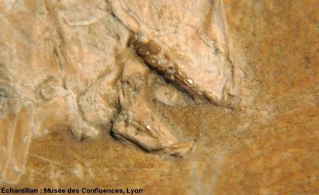 Détail de la dentition de Proscinetes bernardi, poisson pycnodonte du Kimmeridgien, carrière de Cerin (Ain)