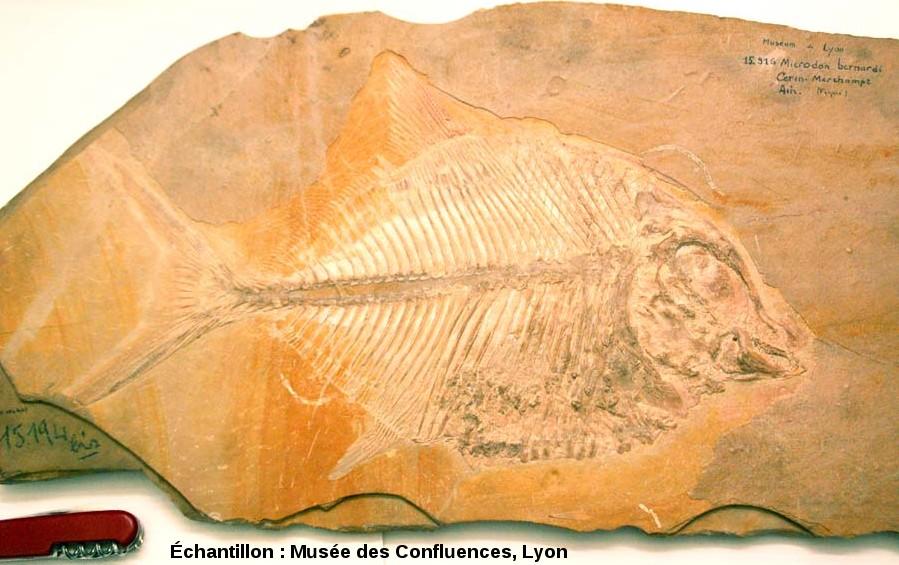 Autre Proscinetes bernardi, poisson pycnodonte du Kimmeridgien, carrière de Cerin (Ain)