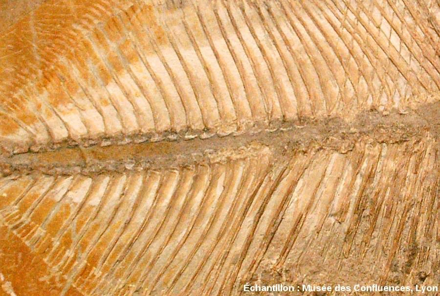Détail de la colonne vertébrale de Proscinetes bernardi, poisson pycnodonte du Kimmeridgien, carrière de Cerin (Ain)