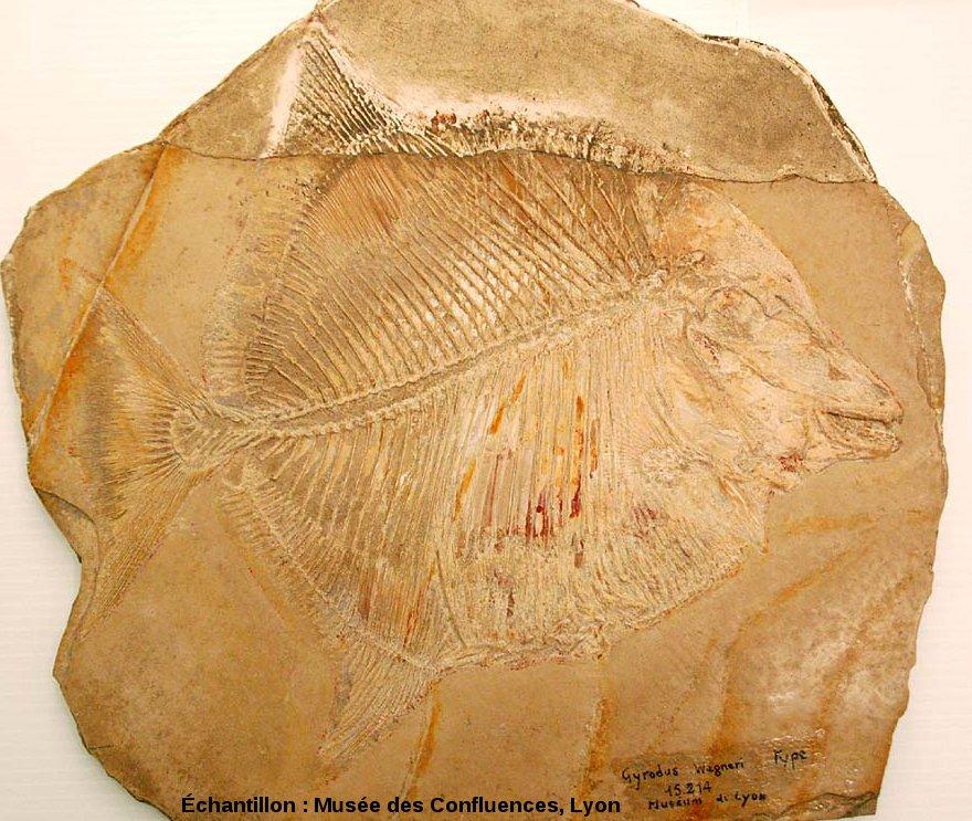 Proscinetes wagneri, poisson pycnodonte du Kimmeridgien, carrière de Cerin (Ain)