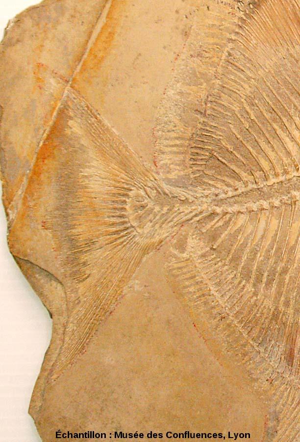 Région caudale de Proscinetes wagneri, poisson pycnodonte du Kimmeridgien, carrière de Cerin (Ain)