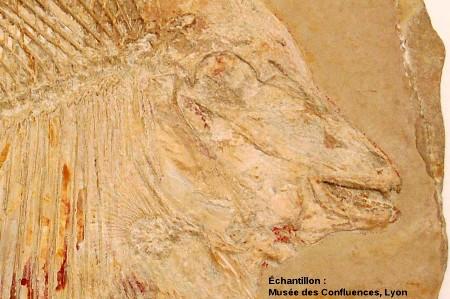 Région antérieure de Proscinetes wagneri, poisson pycnodonte du Kimmeridgien, carrière de Cerin (Ain)