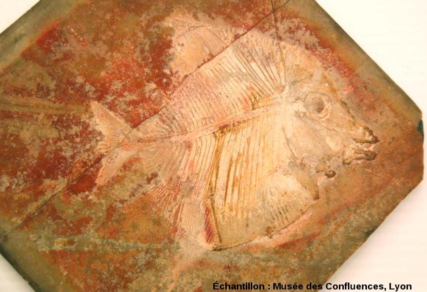 Autre Proscinetes wagneri, poisson pycnodonte du Kimmeridgien, carrière de Cerin (Ain)