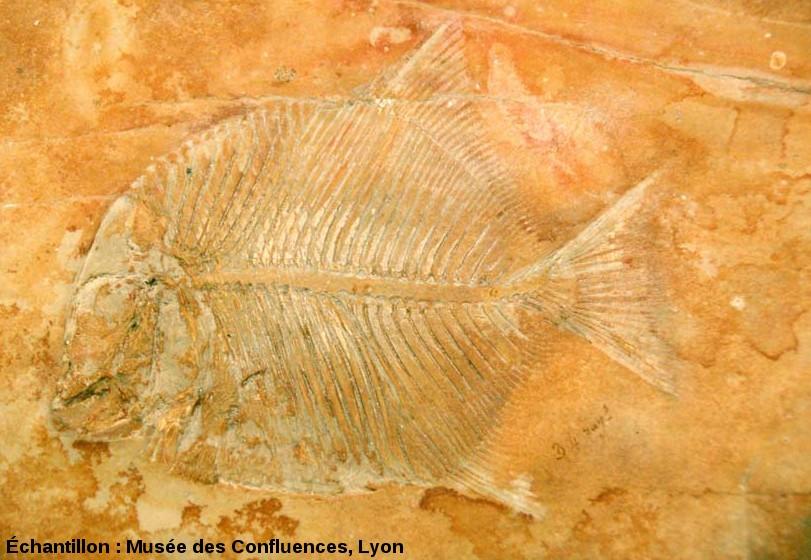 Proscinetes egertoni, poisson pycnodonte du Kimmeridgien, carrière de Cerin (Ain)