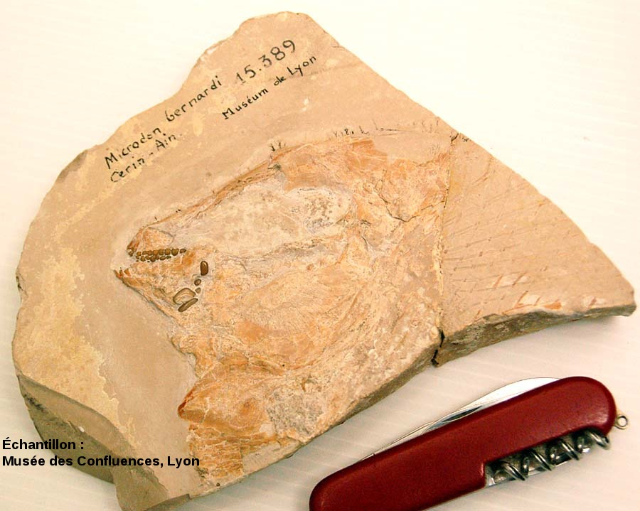 Tête d'un Proscinetes bernardi, poisson pycnodonte du Kimmeridgien, carrière de Cerin (Ain)
