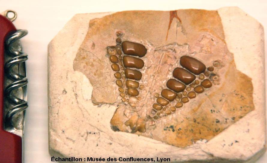 Dentition supérieure et la voûte palatine (vue par dessous) d'un Proscinetes bernardi, poisson pycnodonte du Kimmeridgien, carrière de Cerin (Ain)