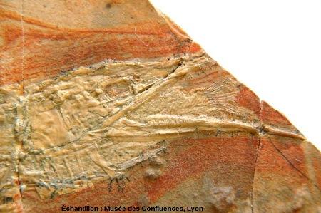 Tête d'un Belonostomus tenuirostris, avec un petit poisson dans sa bouche, Kimmeridgien, carrière de Cerin (Ain)