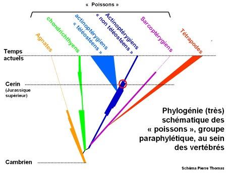 Phylogénie (très) schématique du groupe paraphylétique des poissons