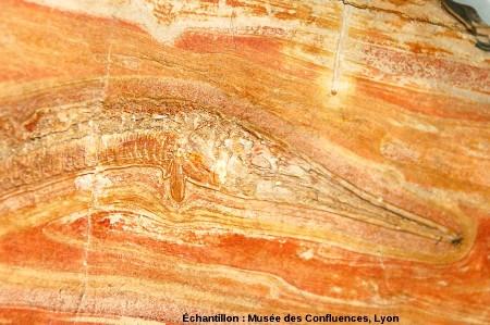 Détail de la tête et des nageoires pectorales d'un Belonostomus tenuirostris, poisson fossile du Kimmeridgien, carrière de Cerin (Ain)