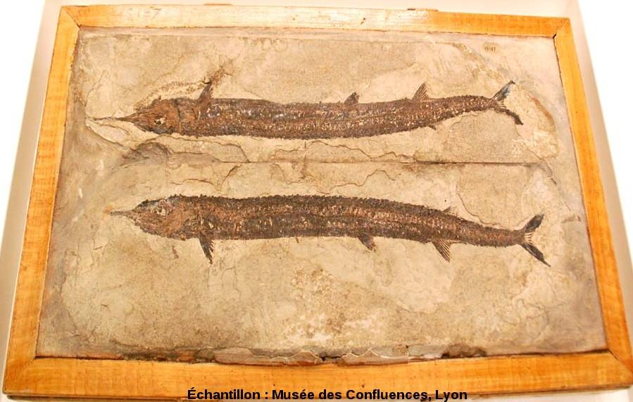 Empreinte et contre-empreinte d'un Belonostomus tenuirostris, poisson fossile du Kimmeridgien, Saint Germain les Paroisses (Ain)