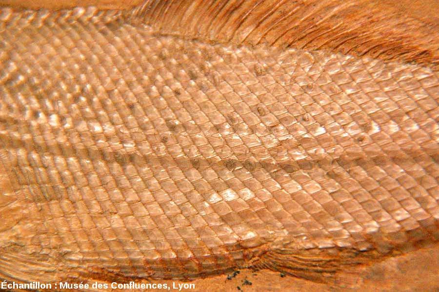 les  u00e9cailles gano u00efdes fossiles des actinopt u00e9rygiens de cerin  ain   u2014 planet