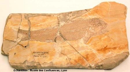 Vue d'ensemble d'un Ophiopsis attenuata, Kimmeridgien, carrière de Cerin (Ain)