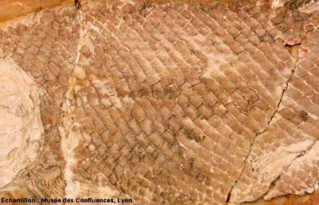 Écailles ganoïdes fossiles d'un Lepidotes notopterus, Kimmeridgien, carrière de Cerin (Ain)