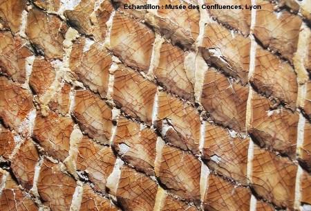 Détail des écailles ganoïdes d'un Lepidotes laevis, Kimmeridgien, carrière de Cerin (Ain)