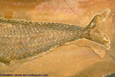 Détail des écailles ganoïdes et et de la nageoire caudale d'un Ankylophorus similis, Kimmeridgien, carrière de Cerin (Ain)