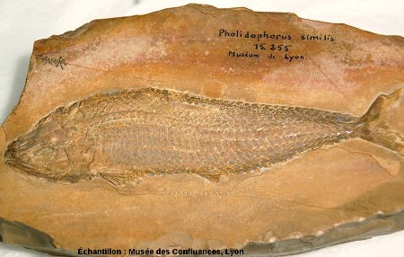 Vue d'ensemble d'un Ankylophorus similis, Kimmeridgien, carrière de Cerin (Ain)