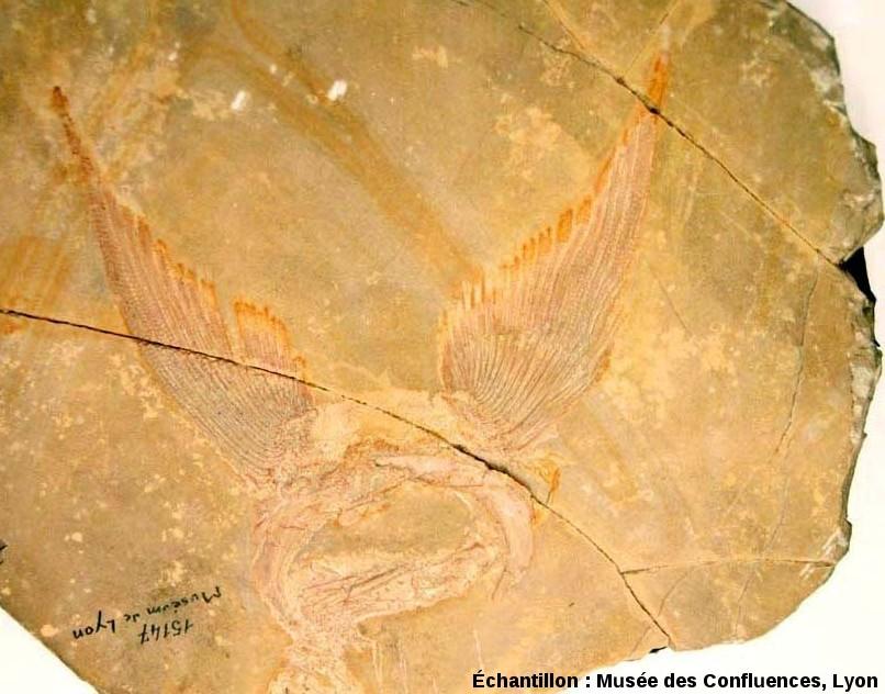 Ensemble des deux nageoires pectorales de Caturus furcatus, Kimmeridgien, carrière de Cerin (Ain)
