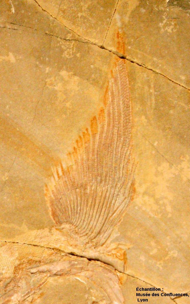 Détail d'une nageoire pectorale de Caturus furcatus, Kimmeridgien, carrière de Cerin (Ain)