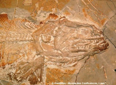 Détail de la tête et des nageoires pectorales d'un Amblysemius bellicianus, Kimmeridgien, carrière de Cerin (Ain)