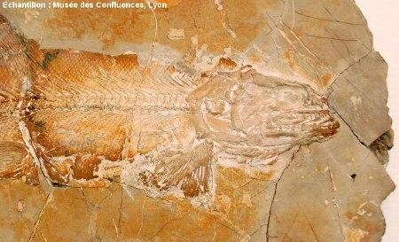 Détail de la partie antérieure d'un Amblysemius bellicianus, Kimmeridgien, carrière de Cerin (Ain)