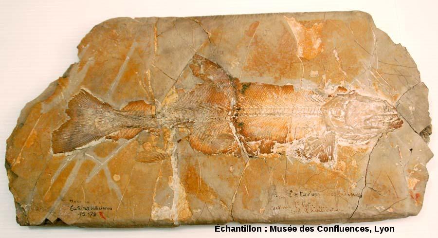 Vue d'ensemble d'un Amblysemius bellicianus, Kimmeridgien, carrière de Cerin (Ain)