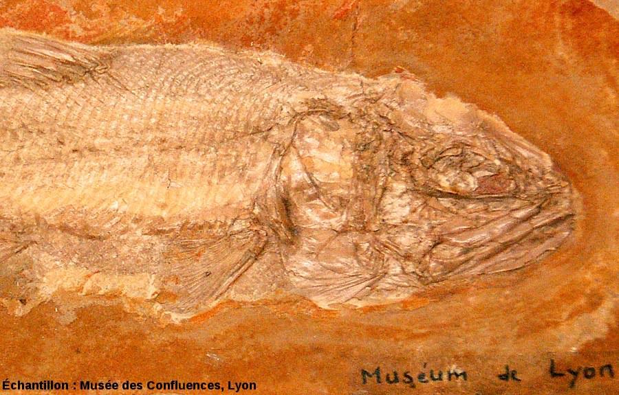 Détail de la région antérieure d'un Lehmanophorus segusianus, Kimmeridgien, carrière de Cerin (Ain)