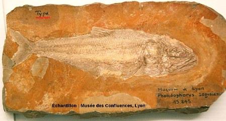 Vue d'ensemble d'un Lehmanophorus segusianus, Kimmeridgien, carrière de Cerin (Ain)
