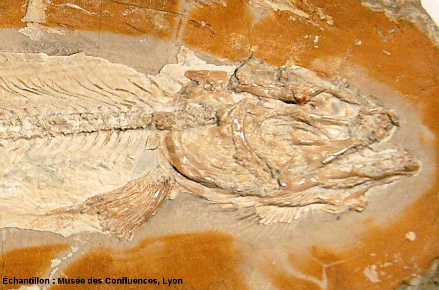Détail de la région antérieure d'un Solnhofenamia elongata, Kimmeridgien, carrière de Cerin (Ain)