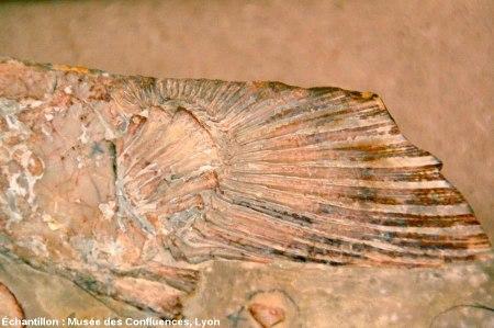 Nageoire d'Holophagus cirinensis, Sarcoptérygien de la famille des coelacanthes, Kimméridgien de Cerin (Ain)