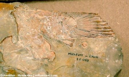 Vue d'ensemble avec une nageoire d'Holophagus cirinensis, Sarcoptérygien de la famille des coelacanthes, Kimméridgien de Cerin (Ain)