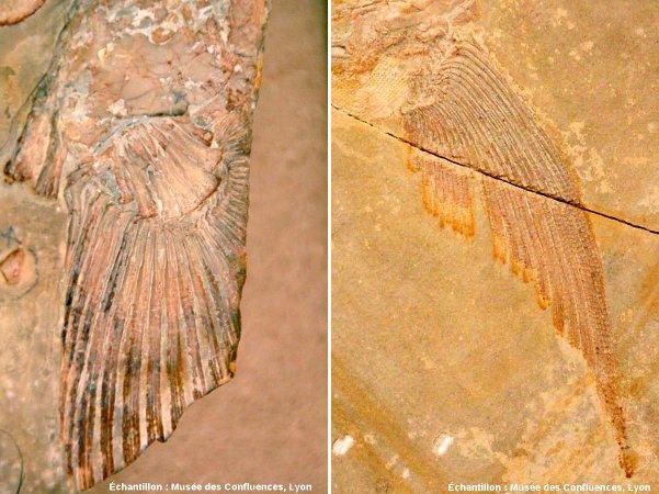 Comparaison entre une nageoire de Sarcoptérygine (à gauche, Holophagus cirinensis), et une nageoire d'Actinoptérygien (à droite, Caturus furcatus), Kimméridgien de Cerin (Ain)