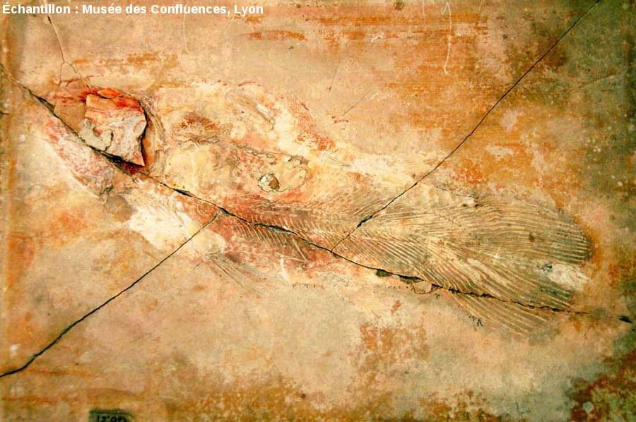 Vue d'ensemble d'un Holophagus cirinensis, Sarcoptérygien de la famille des Coelacanthes, Kimméridgien de Cerin (Ain)
