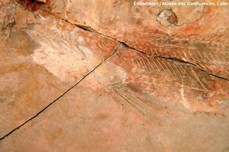 Nageoire pectorale d'un Holophagus cirinensis, Sarcoptérygien de la famille des Coelacanthes, Kimméridgien de Cerin (Ain)
