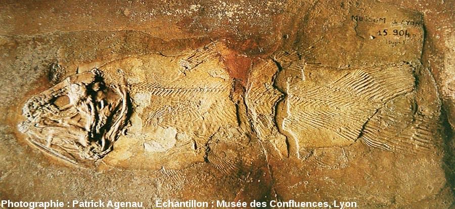 Un autre fossile d'Holophagus cirinensis, Sarcoptérygien de la famille des Coelacanthes, Kimméridgien de Cerin (Ain)