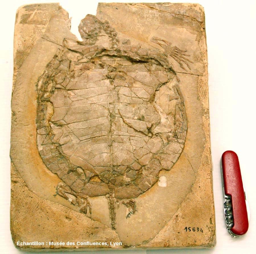 Fossile d'Idiochelys fitzengeri, tortue kimméridgienne de Cerin (Ain)