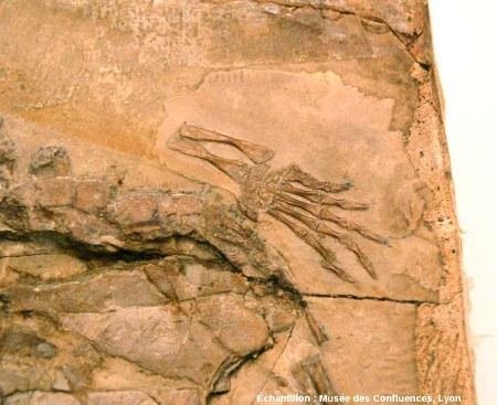 Détail d'un membre antérieur d'Idiochelys fitzengeri, tortue kimméridgienne de Cerin (Ain)