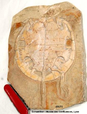 Vue d'ensemble d'un autre exemplaire d'Idiochelys fitzengeri, tortue kimméridgienne de Cerin (Ain)