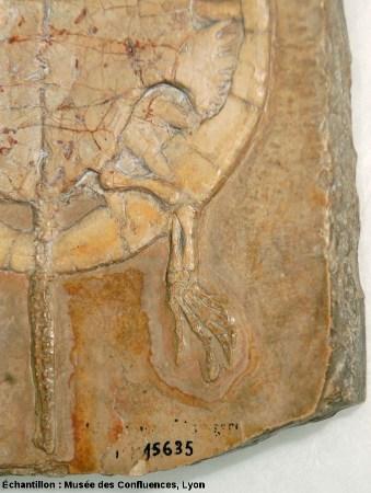 Détail d'une partie postérieure d'Idiochelys fitzengeri, tortue kimméridgienne de Cerin (Ain)