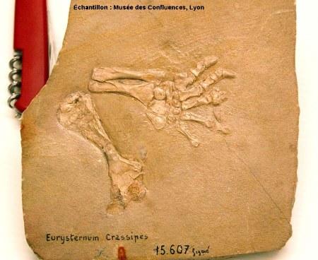 Membre d'Eurysternum crassipes, tortue kimméridgienne de Cerin (Ain)