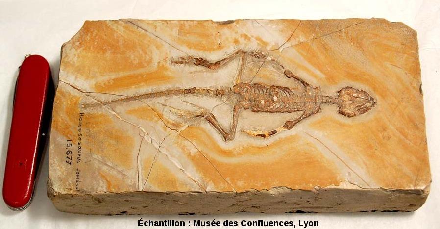 Un Homoeosaurus maximiliani, Rhynchocéphale du Kimméridgien de Cerin (Ain)