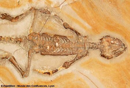 Détail de la partie antérieure d'Homoeosaurus maximiliani, Rhynchocéphale du Kimméridgien de Cerin (Ain)