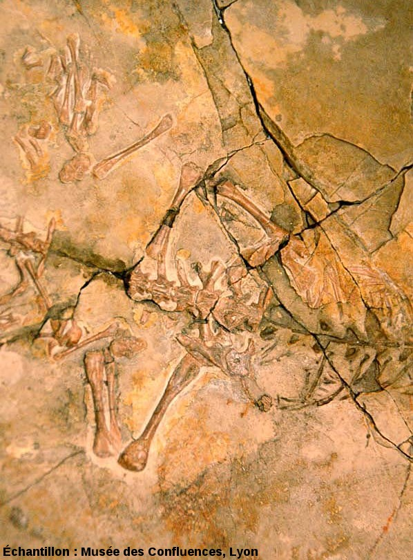 Détail de la ceinture postérieure de Leptosaurus pulchellus, Rhynchocéphale de taille moyenne du Kimméridgien de Cerin (Ain)