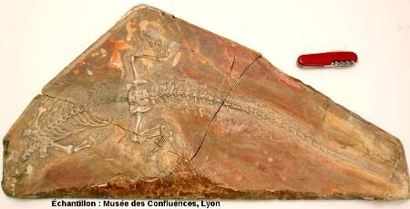 Sapheosaurus thiollieri, Rhynchocéphale de grande taille du Kimméridgien de Cerin (Ain)
