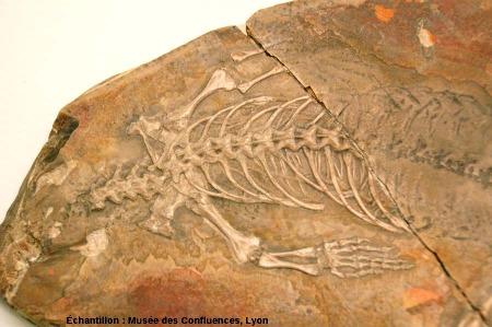 Détail de la ceinture antérieure de Sapheosaurus thiollieri, Rhynchocéphale de grande taille du Kimméridgien de Cerin (Ain)