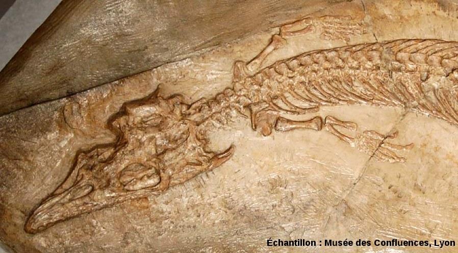 Détail de la région antérieure de Pleurosaurus goldfussi, Rhynchocéphale du Kimméridgien de Cerin (Ain)