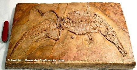 Crocodileimus robustus, crocodile du Kimméridgien de Cerin (Ain)