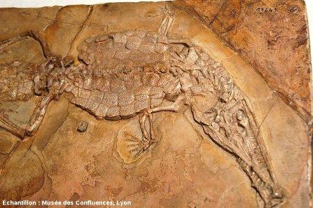 Partie antérieure d'un Crocodileimus robustus, crocodile du Kimméridgien de Cerin (Ain)