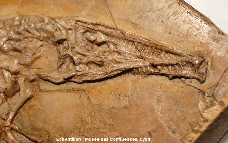 Détail de la tête d'un Crocodileimus robustus, crocodile du Kimméridgien de Cerin (Ain)